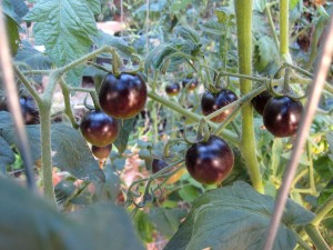 pomodori-neri-antiosidanti