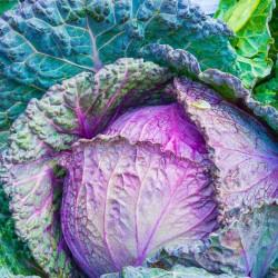 cavolo viola-antiossidante